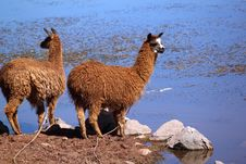 Free Two Llamas Near Water Royalty Free Stock Images - 20800169
