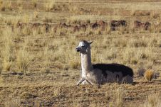 Free Resting Lama On The Meadow Stock Photo - 20800270