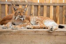 Free Bobcat Sleeping Stock Photos - 20800553