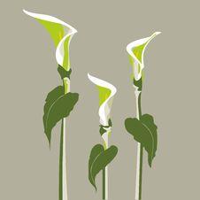 Free Vector Illustration Of A Zantedeschia Flower Royalty Free Stock Image - 20801376