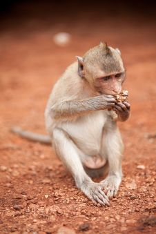 Free The Monkey Sits And Eats Stock Photo - 20801490