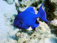 Big Blue Fish 1 Stock Photography