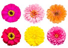 Free Collection Of Zinnia Flower Stock Photos - 20801683
