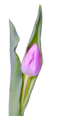 Free Pink Tulip Stock Photo - 20802430