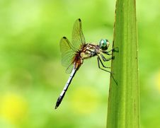 Free Dragonfly On Blade Of Grass Stock Images - 20802674