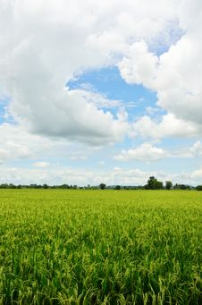 Free Rice Field In Thailand Stock Photo - 20802910
