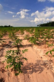 Free Planting Field In Tropical Country Stock Photo - 20803830