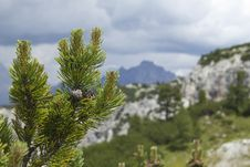Free Pine Branch With Cones Against The Italian Alps Royalty Free Stock Image - 20804116