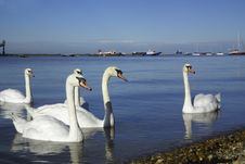 Free Swans On The Thames Royalty Free Stock Photography - 20806947