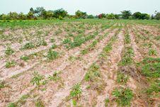 Free Cassava Field Stock Image - 20807401