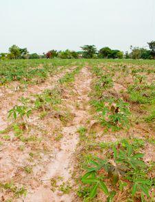 Free Cassava Field Royalty Free Stock Photos - 20807418