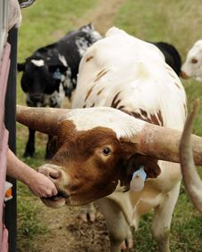 Hand Feeding The Longhorn Stock Photography
