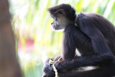 Geoffroy S Spider Monkey (Ateles Geoffroyi) Royalty Free Stock Image