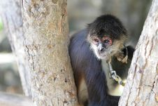 Geoffroy S Spider Monkey (Ateles Geoffroyi) Royalty Free Stock Images