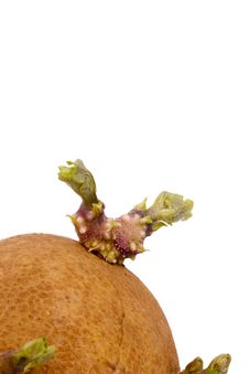 Free Potato Sprout Royalty Free Stock Photography - 20807727