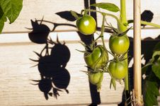 Free Green Tomatoes In Garden Royalty Free Stock Photos - 20807908