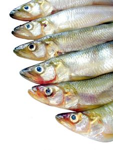 Free Small Fish (smelts) Stock Photography - 20808772