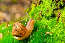 Free Snail Royalty Free Stock Photography - 20809687
