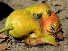 Free Pear And Bee Stock Photos - 20809753