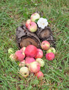 Free Apples In A Grass On A Stub Stock Photography - 20818912