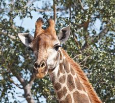 Free Giraffe Curiosity Royalty Free Stock Image - 20810126