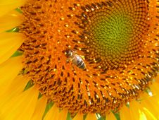 Free Bee At Sunflower Stock Photo - 20810640