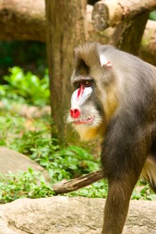 Free Mandrill Baboon Royalty Free Stock Photography - 20810827