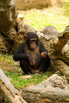 Free Young Chimp Royalty Free Stock Images - 20811419