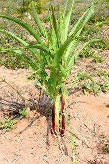 Free Corn Stock Image - 20811441