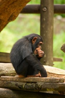 Free Young Chimp Stock Image - 20811471