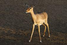 Free Impala Royalty Free Stock Image - 20811506