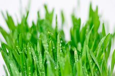 Free Green Grass With Dewdrops Royalty Free Stock Photography - 20812067