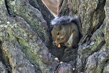 Free Tree Squirrel Eating Peanuts Royalty Free Stock Photo - 20812425