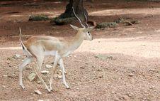 Free Deer Royalty Free Stock Photos - 20812488