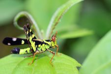 Free Grasshopper On Green Leaf Stock Photo - 20812870