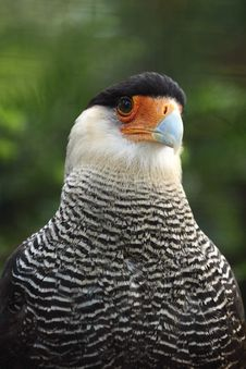 Free Southern Crested Caracara Royalty Free Stock Photography - 20813967