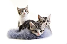 Free Adorable Little Kittens From The Same Litter Royalty Free Stock Images - 20813999