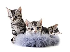 Free Adorable Little Kittens From The Same Litter Royalty Free Stock Photos - 20814008