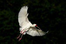 Spoonbill In Flight Stock Images