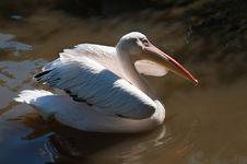 Free White Pelican Stock Photos - 20814673