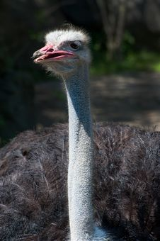 Free Southern Ostrich Royalty Free Stock Images - 20814939