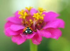 Free Ladybird Royalty Free Stock Photo - 20815045