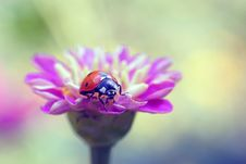 Free Ladybird Royalty Free Stock Photos - 20815058