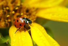Free Ladybird Royalty Free Stock Image - 20815096