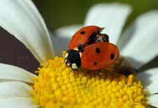 Free Ladybird Royalty Free Stock Photo - 20815125