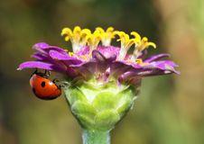 Free Ladybird Royalty Free Stock Image - 20815146