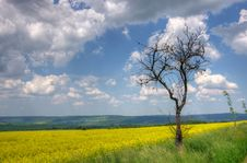 Free Old Tree And Yellow Rape Blossom Field Royalty Free Stock Images - 20816649