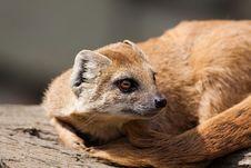 Free Yellow Mongoose (Cynictis Penicillata) Stock Photos - 20818153