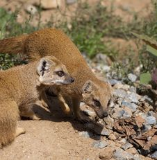 Free Yellow Mongoose (Cynictis Penicillata) Royalty Free Stock Images - 20818249