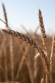 Ears Of Ripe Wheat Against The Dark Blue Sky Royalty Free Stock Images